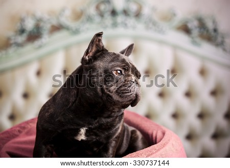 french bulldog over vintage sofa