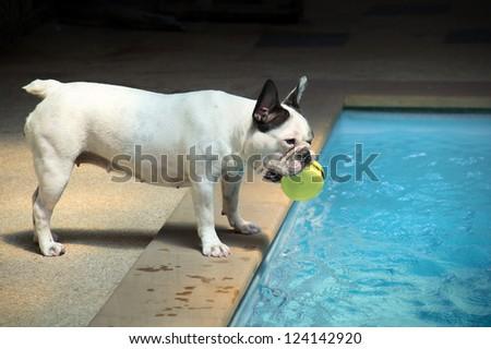 French Bulldog plan to swim - stock photo