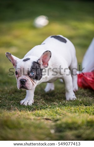 French bulldog playing on the grass