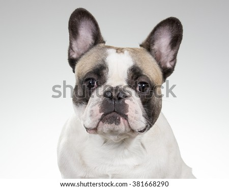 French bulldog portrait. A closeup shot of a french bulldog's face. Image taken in a studio. - stock photo