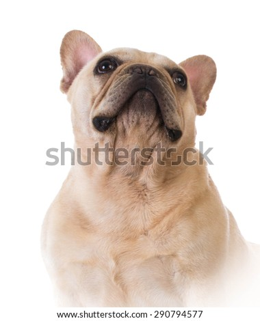 french bulldog portrait on white background