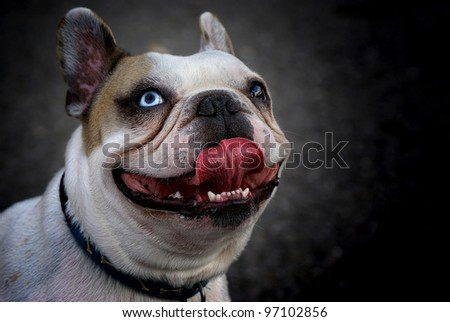 French bulldog portrait with tongue out