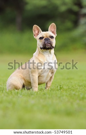 french bulldog puppie
