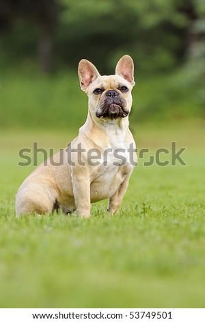 french bulldog puppie - stock photo