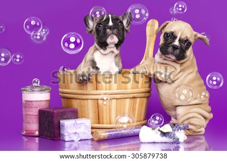 French bulldog puppies in wooden wash basin with soap bubble - stock photo