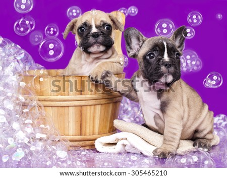 French bulldog puppies  in wooden wash basin with soap suds - stock photo