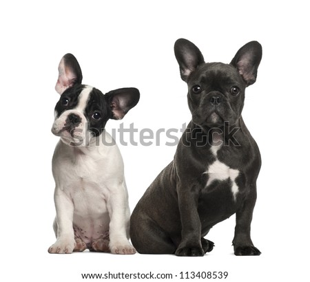 French bulldog 4 months