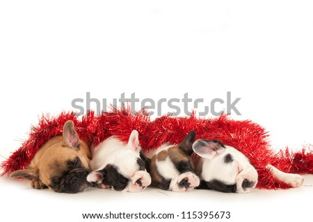 French Bulldog puppies sleeping together under christmas decoration