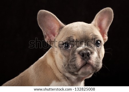 French Bulldog puppy - stock photo