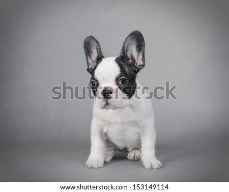 French Bulldog puppy - stock photo