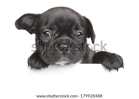 French bulldog puppy above white banner - stock photo