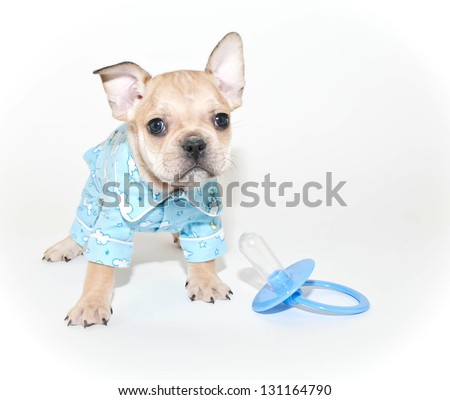 French Bulldog Puppy all ready for bed, on a white background. - stock photo