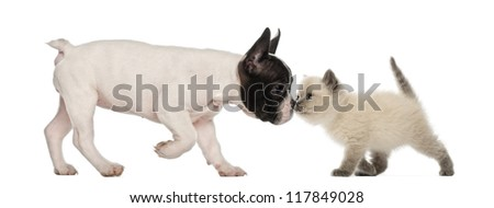 French Bulldog puppy and British shorthair kitten sniffing each other against white background - stock photo