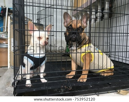 French bulldog puppy and Chihuahua puppy, sit and calm in the cage, wearing the shirt due the cold weather.