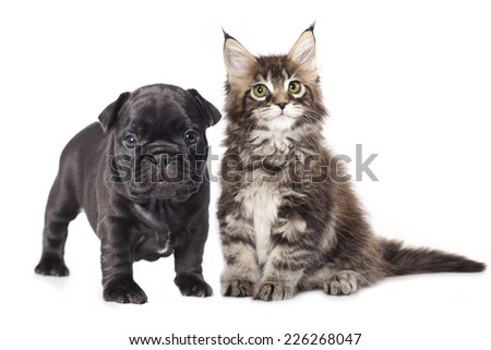 French Bulldog puppy and kitten
