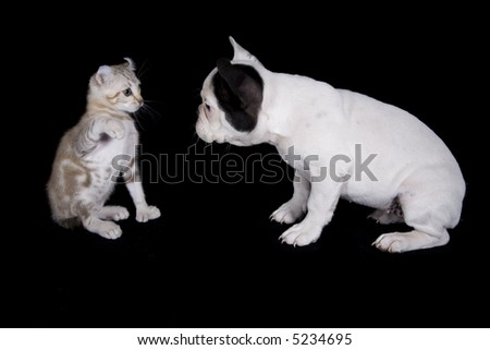 French bulldog puppy and kitten playing on black background