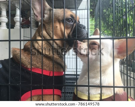 French bulldog puppy being kissed by Chihuahua dog in the cage, spend their time together, couple of cute dog.
