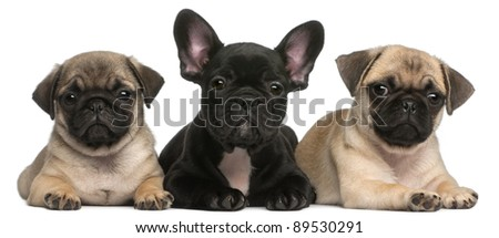 French Bulldog puppy between two Pug puppies, 8 weeks old, in front of white background - stock photo