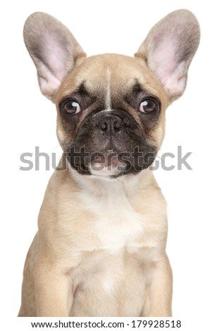 French bulldog puppy. Close-up portrait, isolated on a white background