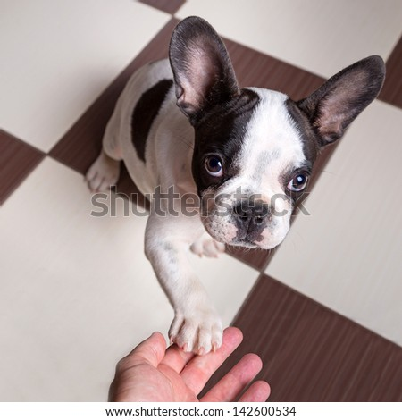 French bulldog puppy giving a paw - stock photo