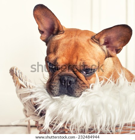 french Bulldog Puppy in a wicker basket with fluffy blanket