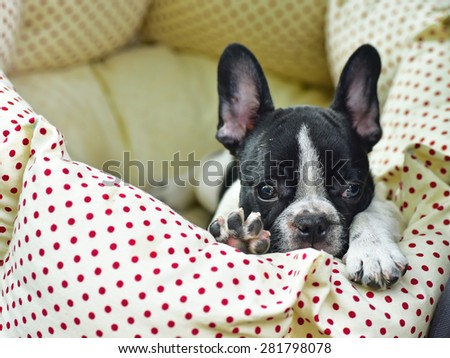 French bulldog puppy in bed - stock photo