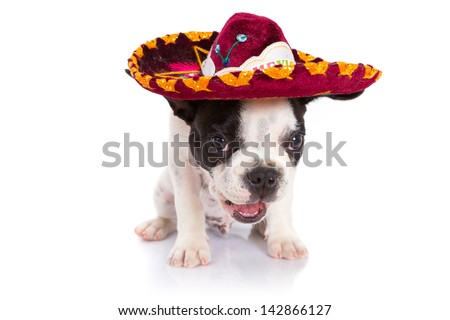 French bulldog puppy in Mexican sombrero over white background