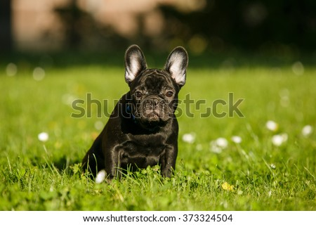 French bulldog puppy in the park sitting on the grass dog for a walk - stock photo