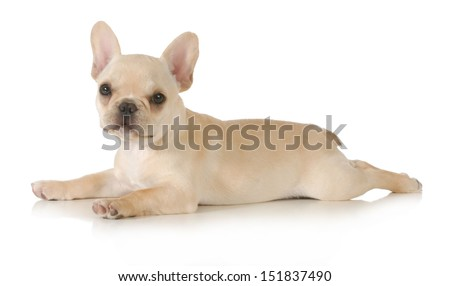 french bulldog puppy laying down looking at viewer isolated on white background - stock photo