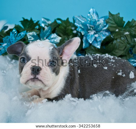 French Bulldog puppy laying in snow with blue poinsettia flowers around her, on a blue background.