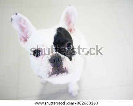 French Bulldog puppy lying on the floor that looks