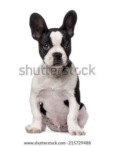 French Bulldog puppy (3 months old) - stock photo