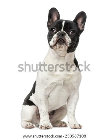 French Bulldog puppy (6 months old) - stock photo