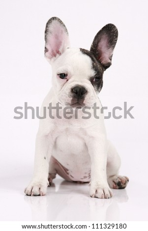 French Bulldog puppy, 3 months old, sitting in front of white background - stock photo