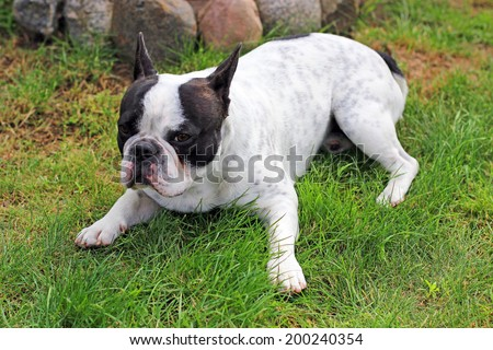 French bulldog puppy on the grass