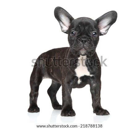French bulldog puppy over white background