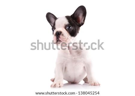 French bulldog puppy portrait over white background - stock photo
