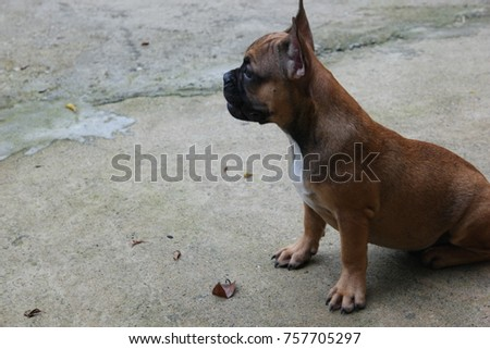 French bulldog puppy sit stay and calm, cute dog.