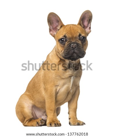 French Bulldog puppy sitting and staring, 4 months old, isolated on white - stock photo