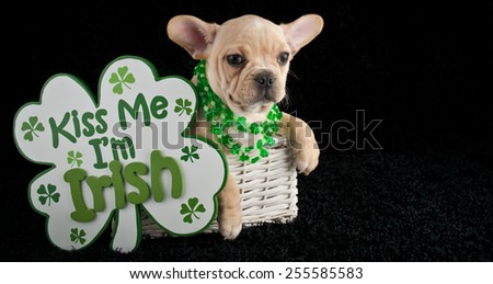 French Bulldog puppy sitting in a basket wearing shamrock necklaces with a 'kiss me I'm Irish' sign beside her.