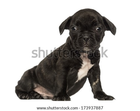 French bulldog puppy sitting, looking at the camera, isolated on white