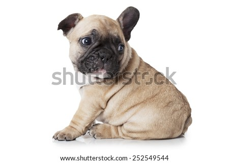 French bulldog puppy sitting on white background and looks at something  - stock photo