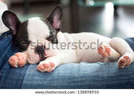 French bulldog puppy sleeping on knees - stock photo