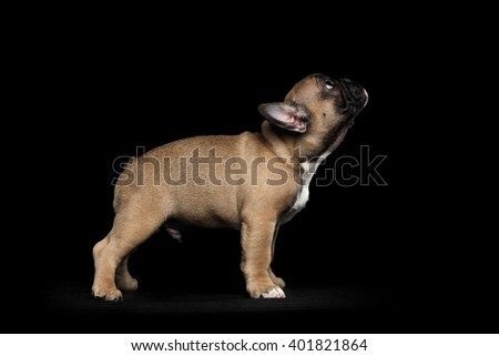 French Bulldog Puppy Standing and Looking up, Side view,  Isolated on black background - stock photo