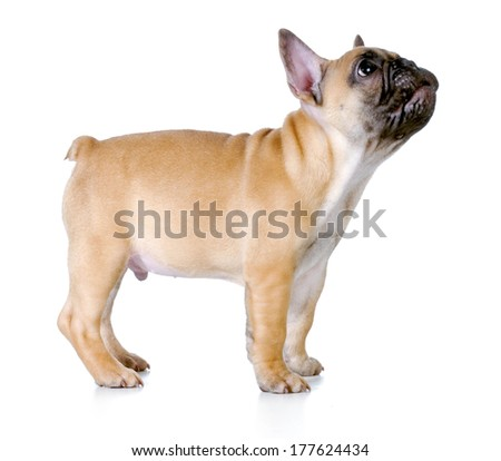french bulldog puppy standing looking up isolated on white - fawn with black mask