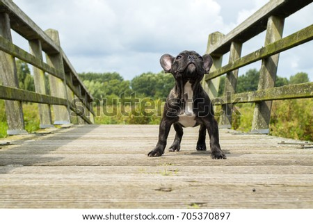 French Bulldog Puppy Standing on A Bridge Looking Up