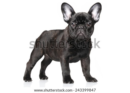 French bulldog puppy standing, portrait on a white background