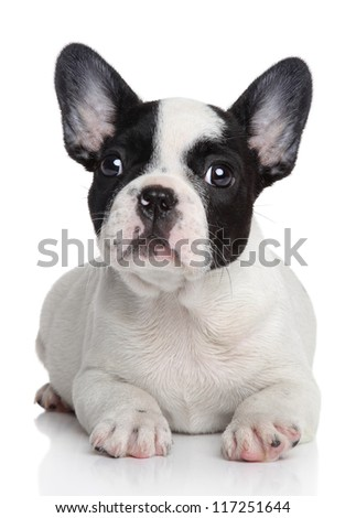 French bulldog puppy. Studio shot, on white background with reflection. - stock photo