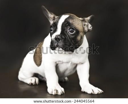 French bulldog puppy. Vintage style - stock photo