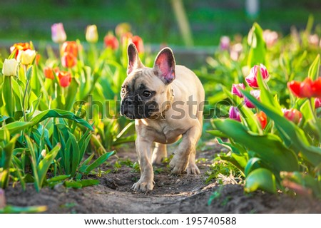 French bulldog puppy walking in flowers - stock photo